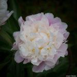 <em>Paeonia lactiflora</em> 'Catharina Fontijn' 02/06/2019