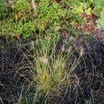 <em>Pennisetum alopecuroides</em> 11/10/2018
