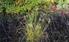 Juste mis en place parmi les ophiopogons