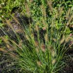 <em>Pennisetum alopecuroides</em> 20/08/2019