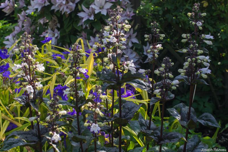 Flowering in mid-June 2021