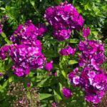 <em>Phlox paniculata</em> 'Blue Paradise' 05/07/2015
