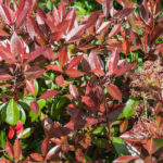 <em>Photinia x fraseri</em> 'Red Robin' 28/04/2010