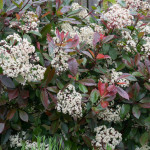 <em>Photinia x fraseri</em> 'Red Robin' 29/04/2014