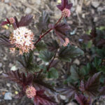 <em>Physocarpus opulifolius</em> 'Red Baron' 14/05/2017