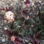 <em>Physocarpus opulifolius</em> 'Red Baron' 14/05/2017