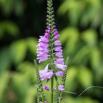 <em>Physostegia virginiana</em> 'Bouquet rose' 25/07/2017