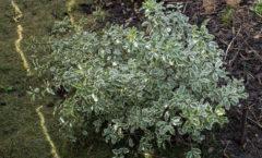 Juste planté à la place de la lavatère Barnsley crevée.