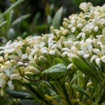 <em>Pittosporum tobira</em> 21/05/2016