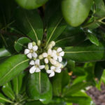 <em>Pittosporum tobira</em> 24/05/2015