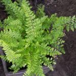 <em>Polystichum setiferum</em> 'Plumosum Densum' 17/09/2020