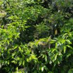 <em>Prunus lusitanica</em> 22/05/2015