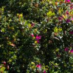 <em>Rhododendron japonica</em> 'Amoena Coccinea' 27/04/2019