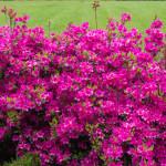 <em>Rhododendron japonica</em> 'Amoena Coccinea' 28/04/2015