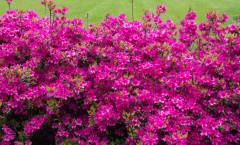 Rhododendron japonica 'Amoena Coccinea' 28/04/2015