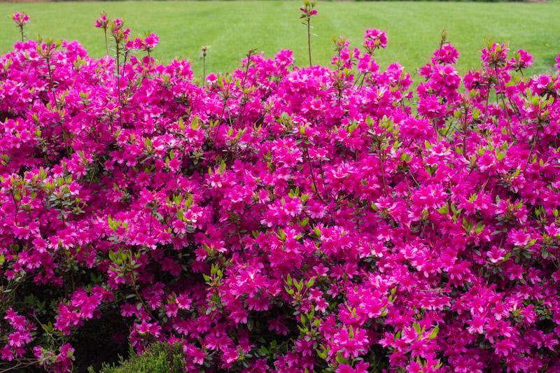 Rhododendron japonica amoena coccinea papi joe 39 s garden for Azalea japonica