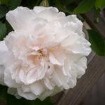 <em>Rosa</em> 'Madame Alfred Carrière' 17/04/2017