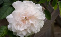Premières fleurs de la saison. Un look décoiffé et sans prétention et un superbe parfum.