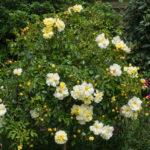 <em>Rosa</em> 'Noason' 'Celina' 11/06/2015