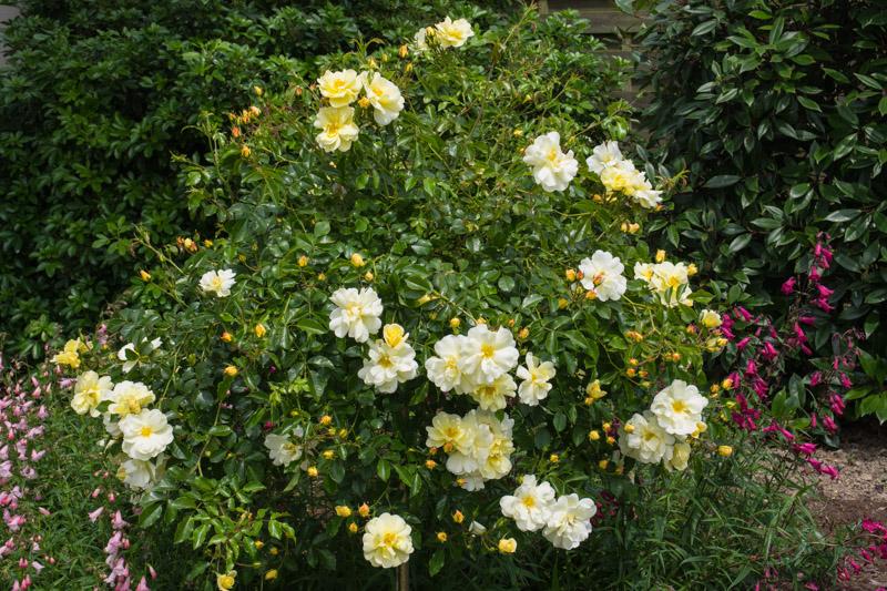 Rosa noason celina le jardin de papi jo - Puceron rosier savon noir ...