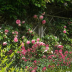 <em>Rosa</em> 'Pierre De Ronsard' 'Meiviolin' 04/06/2021