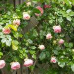 <em>Rosa</em> 'Pierre De Ronsard' 'Meiviolin' 10/05/2011
