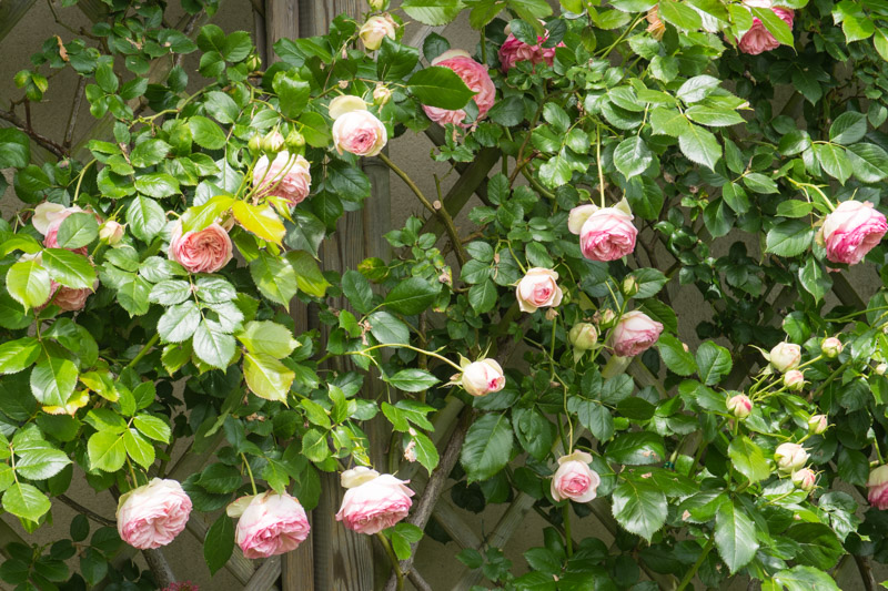 Rosa pierre de ronsard meiviolin le jardin de papi jo for Pierre de ronsard rosa