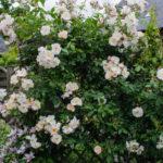 <em>Rosa</em> 'Sourire d'orchidée' 30/05/2019