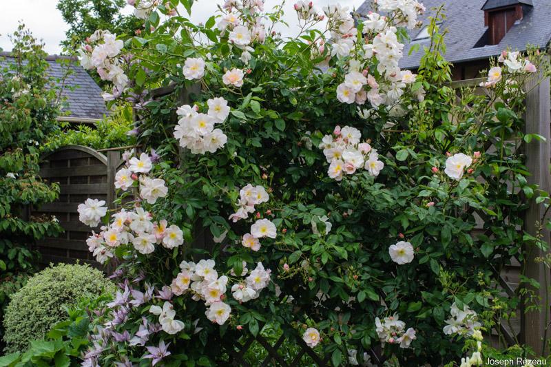 pleine floraison fin mai 2019