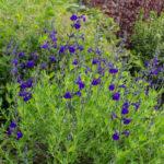 <em>Salvia greggii</em> 'Blue Note' 04/06/2021