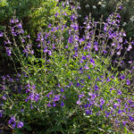 <em>Salvia greggii</em> 'Blue Note' 17/09/2020