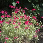 <em>Salvia greggii</em> 'Caramba' 08/09/2018