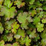 <em>Saxifraga fortunei var. incisolobata</em> 'Shiratama' 20/06/2020