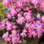 <em>Saxifraga fortunei var. incisolobata</em> 'Tama botan' 30/10/2016