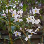 <em>Solanum jasminoides</em> 'Alba' 17/09/2017