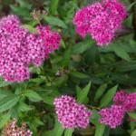 <em>Spiraea japonica</em> 'Anthony Waterer' 13/09/2014