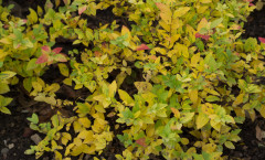 Spiraea japonica 'Golden Princess' 03/12/2015