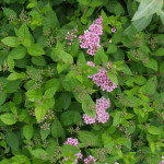 <em>Spiraea japonica</em> 'Little Princess' 09/06/2014