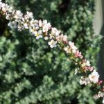 <em>Spiraea thunbergii</em> 'Fujino Pink' 01/03/2021