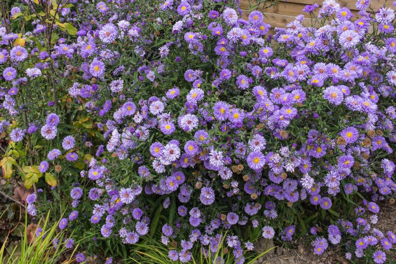 symphyotrichum novi belgii marie ballard papi joe 39 s garden. Black Bedroom Furniture Sets. Home Design Ideas