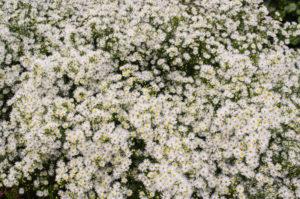 Un aster à nombreuses petites fleurs qui fleurit fidèlement tous les ans au mois d'octobre