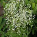<em>Thalictrum delavayi</em> 'Album' 25/07/2015