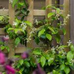 <em>Trachelospermum asiaticum</em> 11/06/2016