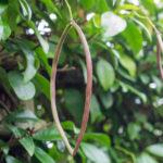 <em>Trachelospermum asiaticum</em> 20/08/2021