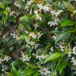 <em>Trachelospermum jasminoides</em> 08/07/2016