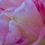 <em>Tulipa</em> 'Angélique' 01/05/2016
