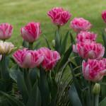 <em>Tulipa</em> 'Angélique' 11/04/2016