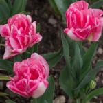 Floraison d'Avril - gros plan