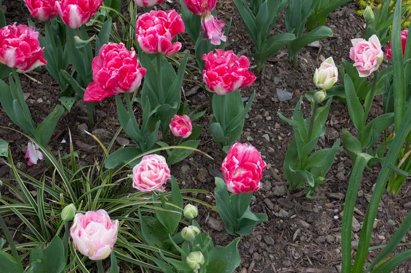 Prédominance des fleurs rose vif.
