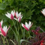 <em>Tulipa clusiana</em> 'Peppermint Stick' 20/04/2018